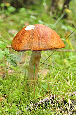 Rufus parfait de boletus, champignon de couche rouge