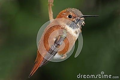 蜂鸟红褐色rufus selasphorus