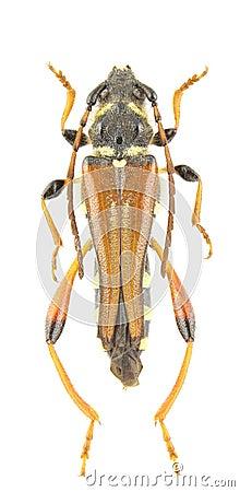 Rufus stenopterus
