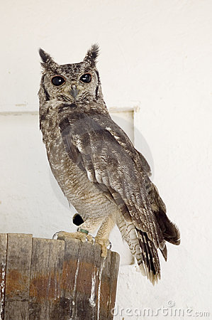 Rufus-Thighed Owl