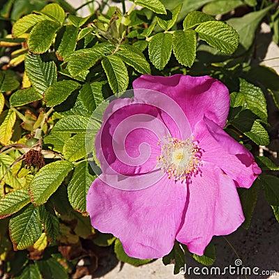 Rugosa rose (Rosa rugosa)