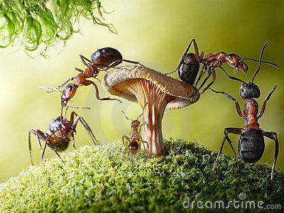Run, baby! robbers formica and myrmica, ant tales
