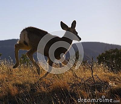 Runaway deer