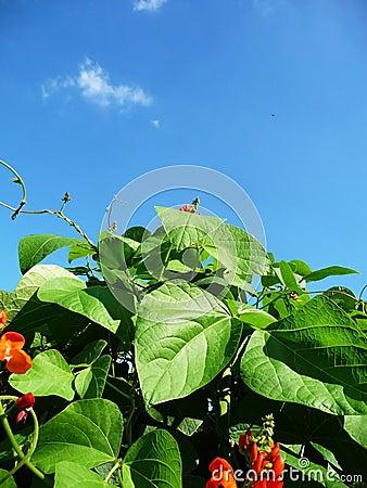 Runner Bean Plant