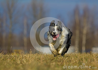 Runnig dog