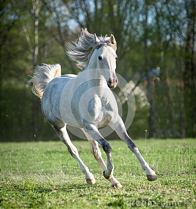 Free Running Arab Horse Stock Photo - 61517350