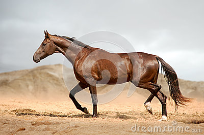 Running bay horse in the desert