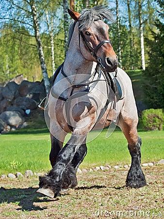 Free Running Belgian Draught Horse. Stock Images - 40984254