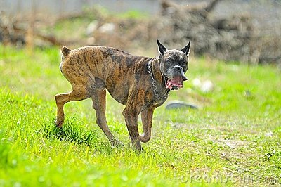Running Boxer dog