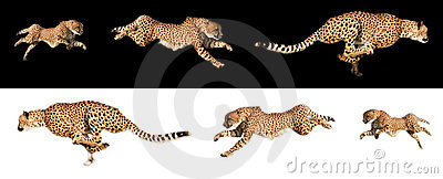 Running cheetah sequences