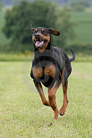 Free Running Doberman Royalty Free Stock Images - 12413439