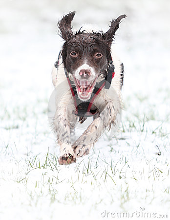 Free Running Dog In Snow Royalty Free Stock Photo - 37742925