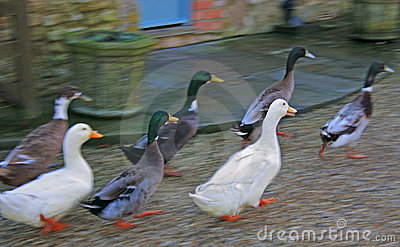 Running Ducks