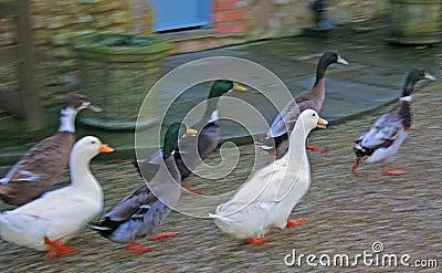 Running Ducks