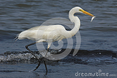 Running Egret with fish
