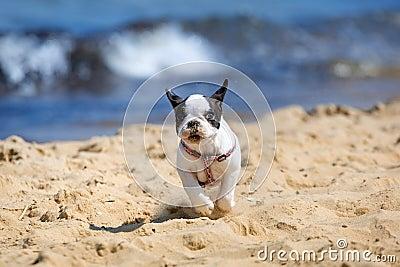 Running French bulldog puppy