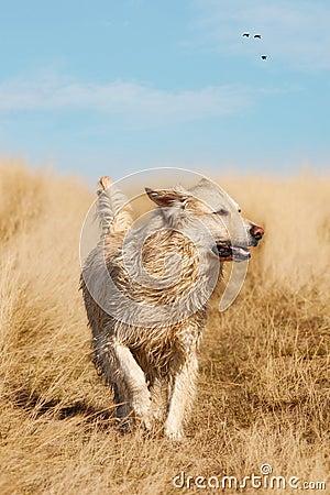 Running Golden Labrador Retriever