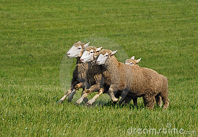 Running Group of Sheep (Ovis aries)