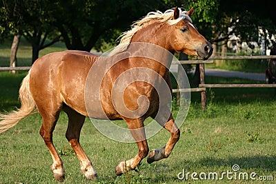 Running haflinger horse