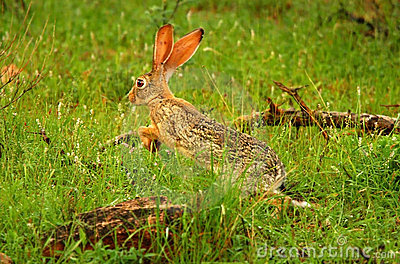 Running hare in the wild