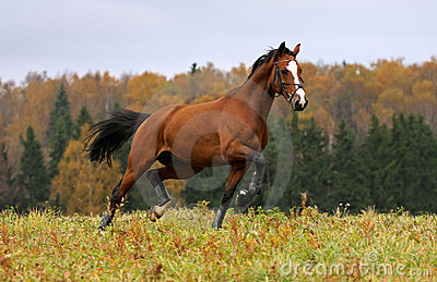 Running horse in the autumn field