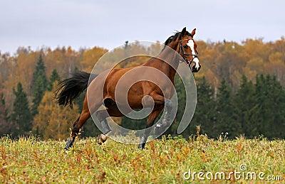 Running horse in the autumn field