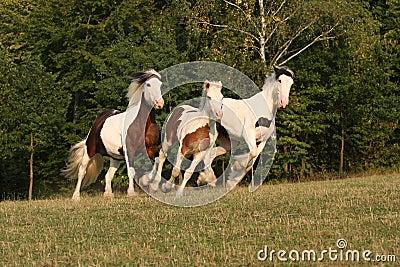 Running horses in a pasture - Irish cob