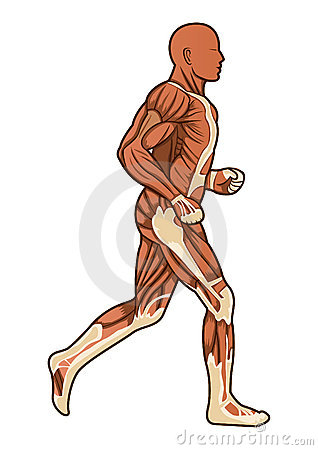 Running human anatomy