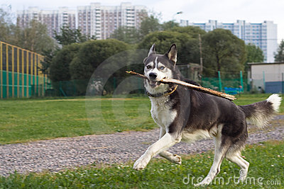 Running husky in the city