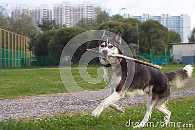 Running husky in the city
