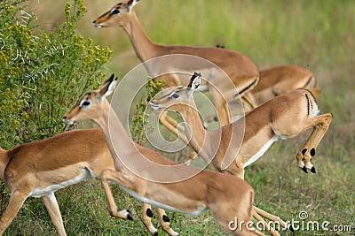 Running impalas