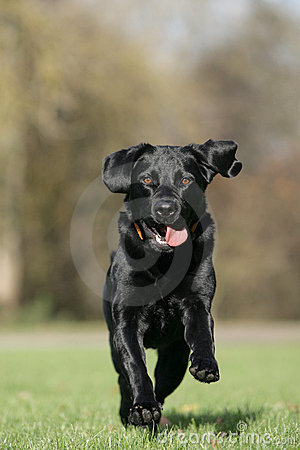 Free Running Labrador Retriever Dog Royalty Free Stock Image - 17539706