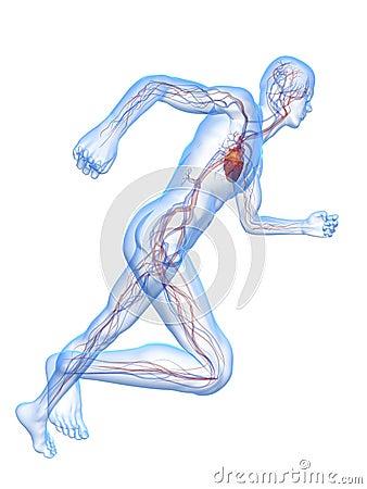 Running man - vascular system