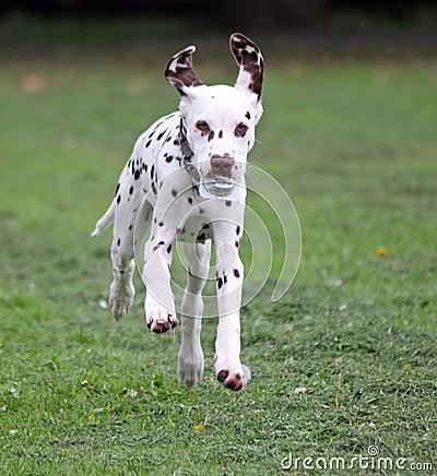 running puppy dog