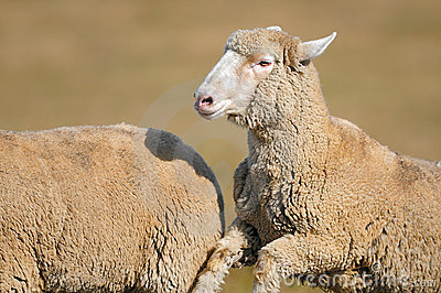 Running Sheep (Ovus aries)