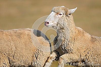 Running Sheep (Ovus aries)