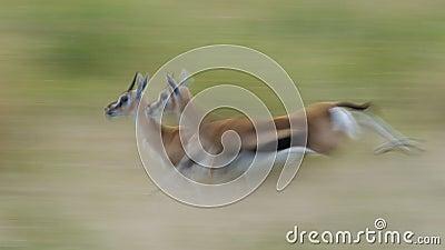 Running Thompson s Gazelles
