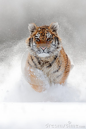 Free Running Tiger With Snowy Face. Tiger In Wild Winter Nature.  Amur Tiger Running In The Snow. Action Wildlife Scene, Danger Animal. Stock Image - 88566341
