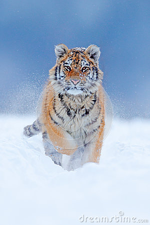 Free Running Tiger With Snowy Face. Tiger In Wild Winter Nature.  Amur Tiger Running In The Snow. Action Wildlife Scene, Danger Animal. Royalty Free Stock Photos - 88566348