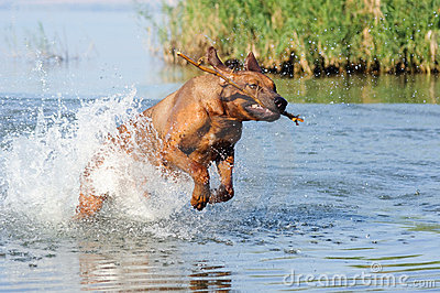 Running in water dog