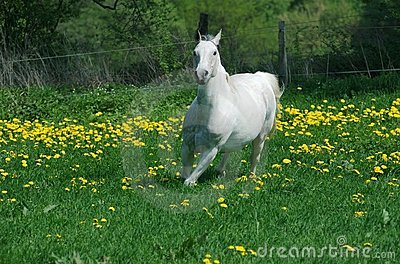 Running white horse in yellow