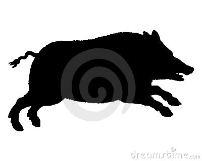 Running wild pig on white