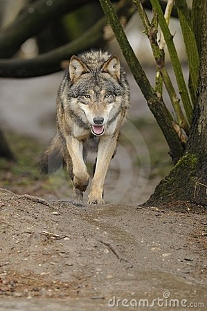 Free Running Wolf ( Canis Lupus ) Royalty Free Stock Images - 18286989