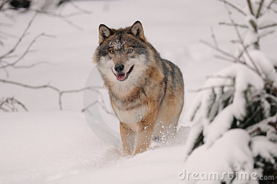 Running Wolf ( Canis lupus )