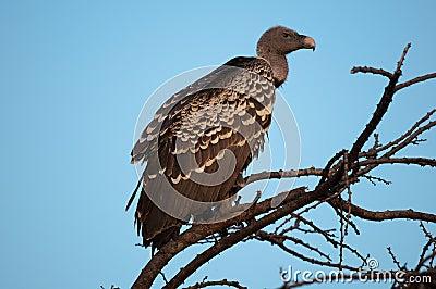 Ruppell s Vulture Kenya East Africa