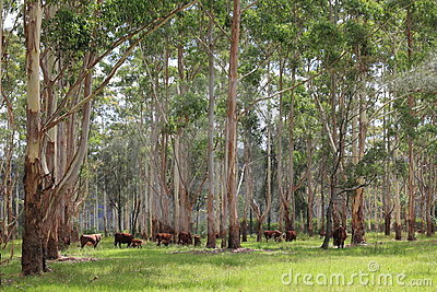 Australian cattle farming