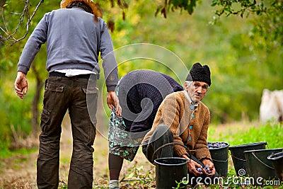 Rural family harvesting plums