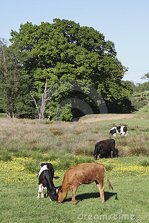 Rural field with a variety cows grazing on grass