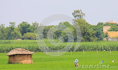 Rural life in India: wheat fields, farmers, huts Editorial Photo