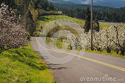 Rural road through blooming apple orchards